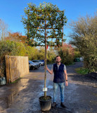 Pleached Portuguese Laurel (Prunus lus. 'Angustifolia') 12/14cm girth