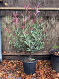 Photinia 'Pink Marble' 70/80cm