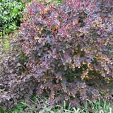 1 x Berberis thunbergii 'Atropurpurea' (Barberry) 40-60cm bare root - Single Plant