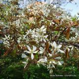 1 x Amelanchier lamarckii (June Berry) 80-100cm bare root - Single Plant