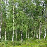 1 x Betula pendula (Silver Birch) 60-100cm bare root - Single Plant