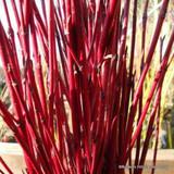 1 x Cornus alba 'Siberica' (Westonbirt Dogwood) 60-90cm bare root - Single Plant