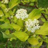 1 x Cornus alba (Red Dogwood) 40-60cm bare root - Single Plant