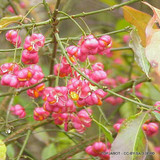 1 x Euonymus europaeus (Spindle) 60-80cm bare root 2yr - Single Plant