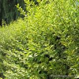 1 x Ligustrum 'Aureum' (Golden Privet) 60-90cm bare root - Single Plant