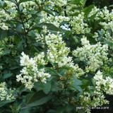 1 x Ligustrum ovalifolium (Privet) 100-125cm bare root - Single Plant