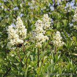 1 x Ligustrum vulgare (Wild Privet) 40-60cm bare root - Single Plant