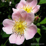 1 x Rosa canina (Dog Rose) 40-60cm bare root - Single Plant