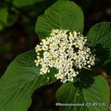 1 x Viburnum lantana (Wayfaring Tree) 40-60cm bare root - Single Plant