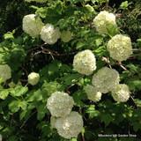 1 x Viburnum opulus (Guelder Tree) 40-60cm bare root - Single Plant