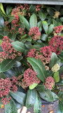 Small Skimmia