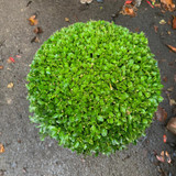 Box ball - 25cm approx. (Buxus)