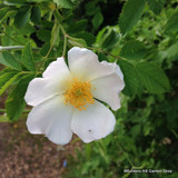 1 x Rosa rugosa 'Alba' (White Hedgehog Rose) 40-60cm bare root