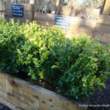 1 x Buxus sempervirens (Common Box) 25-30cm bare root