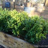 1 x Buxus sempervirens (Common Box) 30-35cm bare root