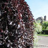 1 x Fagus sylvatica 'Atropurpurea' (Purple Beech) 80-100cm bare root
