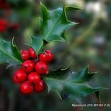 1 x Ilex aquifolium (English Holly) 30-50cm, 9cm pot