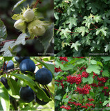 Economy Mixed Native Hedging - 25 plants PRE ORDER FOR LATE NOVEMBER