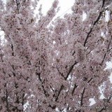 Prunus amanogawa (Flowering Cherry) - 200/250cm