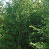 Leylandii, green - 3ltr pot