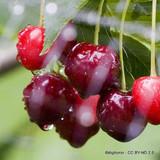 Cherry 'Summer Sun' 1yr dwarf tree on Gisella 5 rootstock