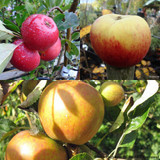 Family Apple tree - Cox, Discovery, James Grieve
