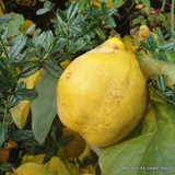 Quince 'Vranja' 6/8cm (Quince A rootstock)