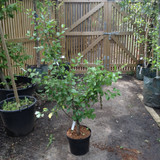 Plum Tree 'Greengage' -  10ltr
