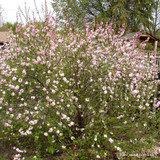 Prunus triloba (Flowering Almond) - 125-150cm