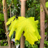 Acer platanoides 'Princeton Gold' (Norway Maple) - 180/210cm