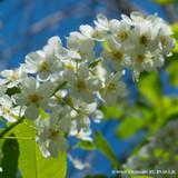 Prunus padus (Bird Cherry) - 200/250cm