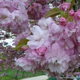 Prunus 'Pink Perfection (Flowering Cherry) - 200/250cm