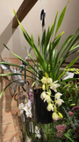 Cymbidium King of Orchids