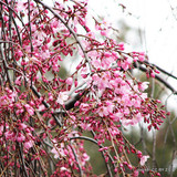 Prunus autumnalis 'Rosea' (potted) - 6-7ft