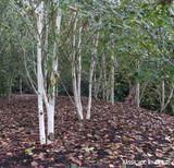 Betula Jacquemontii standard (Himalayan Birch) 6/8cm