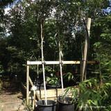 Betula Jacquemontii standard (Himalayan Birch) 10-12ft