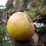 Apple 'Laxton's Superb' Espalier 2yr tree on MM106 rootstock