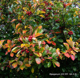Crataegus prunifolia - potted