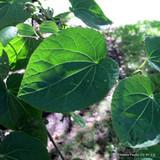 Cercidiphyllum japonicum (Katsura Tree) - 200-250cm
