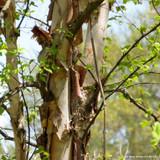 Betula nigra (River Birch) - 200/250cm