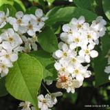 Prunus padus (Bird Cherry) - 175/200cm (potted)