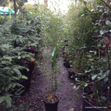 Phyllostachys bissetii (Bamboo) 150-175cm