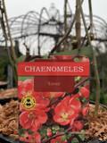 Chaenomeles Eximia - 4lt