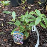 Daphne odora 'Aureomarginata' - 2L