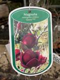 Magnolia x Genie - 2L
