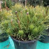 Pinus mugo 'Pumillo' - 3L
