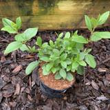 Viburnum tinus 'French White'