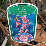 Prunus amygd. Spring Glow