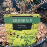 Berberis thun. 'Diabolicum' - 3L