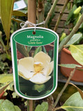 Magnolia grandiflora 'Little Gem' - 5L